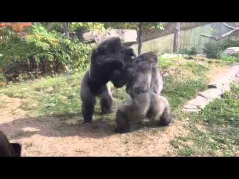Omaha Zoo Gorilla Fight Where s the Zookeepers