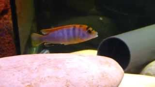 Labidochromis Hongi Kimpuma (2)