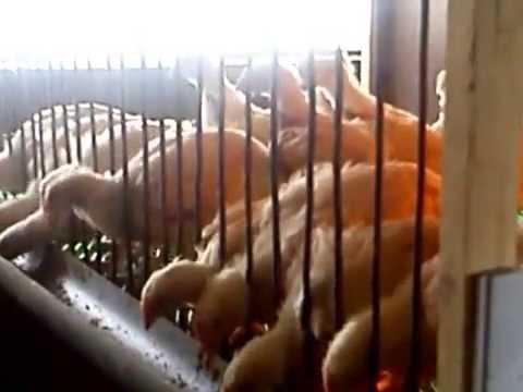 выращивание опарыша на корм домашней птице - Vimeou