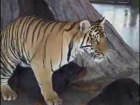 Tiger and Dog Mating
