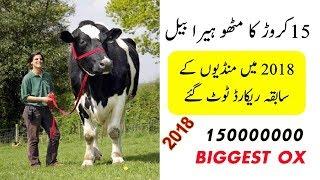COW MANDI SOHRAB GOTH 2017 [15 crore ka mithu heera ]