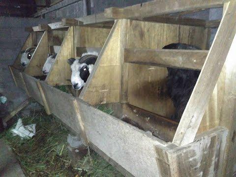 Ternak Domba - Adu Domba - Kambing Super - Domba Super