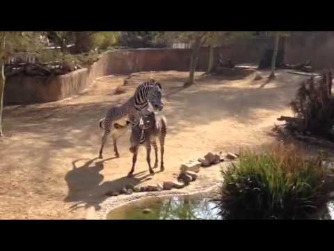 Zebra mating at LA Zoo