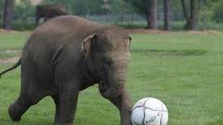 The Elephant Playing Football  হাতির ফুটবল খেলা