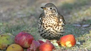 Know Your Thrushes - Song And Mistle