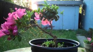 How I made  a  Shohin flowering Azalea Bonsai Slanted style.mp4