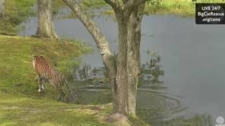 Kali Tiger Pond Rain 30 July 2016