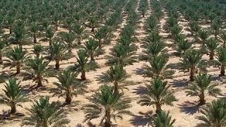 مقطع صوتي... المسافات النموذجية بين أشجار النخيل/د.عبدالباسط عودة إبراهيم