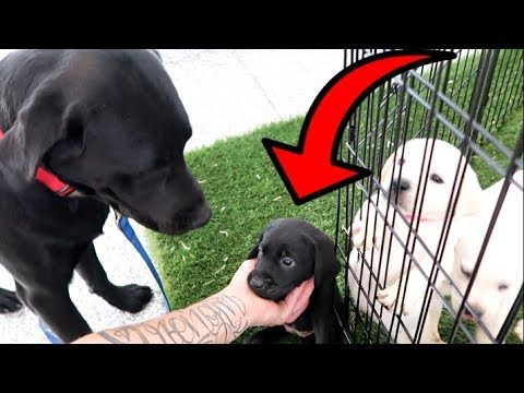 DOG DAD MEETS HIS PUPPIES FOR THE FIRST TIME