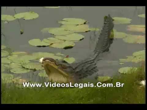 Prisão de ventre Jacaré peida na lagoa