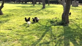Araucana chickens & cockerels (green egg laying) Pekin cockerel Flying round the garden