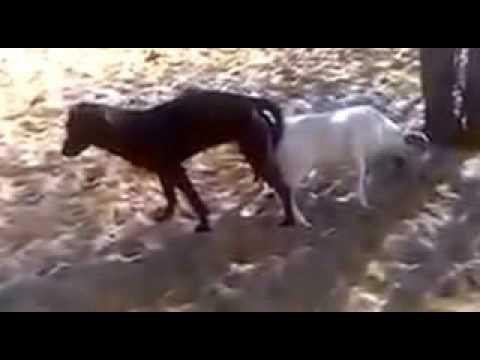 dog meeting to goat so hard كلب يتزاوج مع معزة