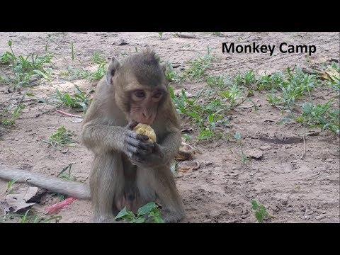 Xxx Mp4 Adult Monkey Eat Hot Corn Daily Monkey Life In Angkor Monkey Camp Part 2059 3gp Sex
