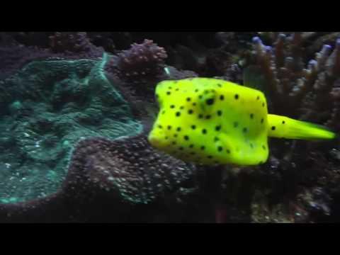 Beautiful yellow boxfish swimming