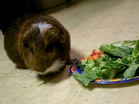 Brownie the guinea pig eating