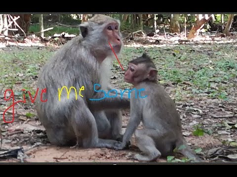 Xxx Mp4 A Little Baby Monkey Ask It S Mom For Some Fruits It Is Very Pity For Baby Monkey 3gp Sex