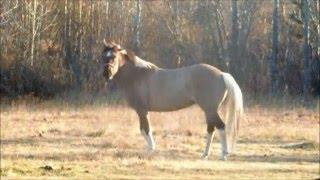 ahhj rainbow ranch alaska ponies move shake their bodies
