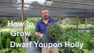 How to grow Dwarf Youpon Holly (Very Low Maintenance) with detailed description