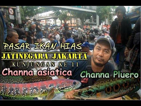 Xxx Mp4 Pasar Ikan Hias Jatinegara Jakarta Channa 3gp Sex