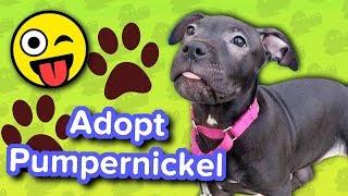 Adopt Pumpernickel // Pitbull Puppy // Adoptable Featurette