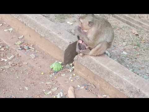 Wow! Big Monkey Doing Wat????  New Born Baby Monkey eat milk mom and more funny Monkey