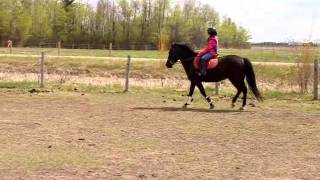 FOR SALE (DOLLY) WELSH MORGAN PONY MARE 7