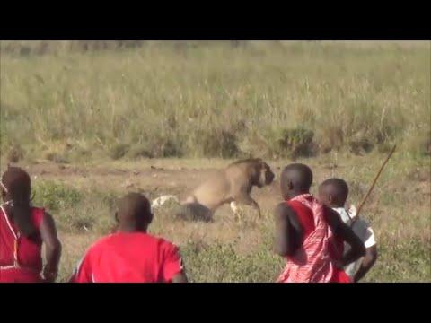 Xxx Mp4 Lion Vs Maasai Amboseli National Park Safari Kenya 2015 3gp Sex