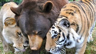 After 15 Years Of Friendship, This Tiger And Bear Just Said A Final Farewell To Their Lion Brother