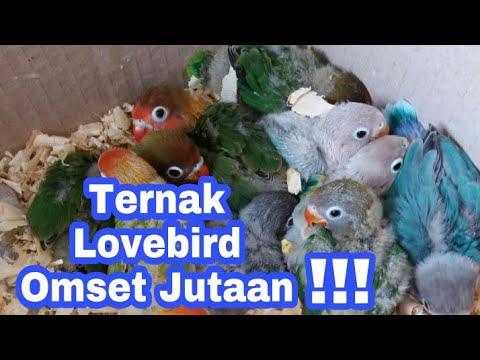 Ternak Lovebird Panen Lancar Omset Jutaan
