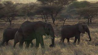 SHOCKING: Poachers Attack Wild Elephant in Kenya - This Wild Life  - BBC