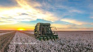 2016 cotton plant to harvest