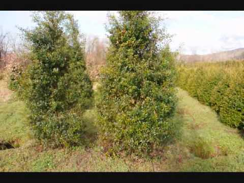 XXX Super  Trees and Shrubs  for a mixed boarder  For Privacy  Seclusion