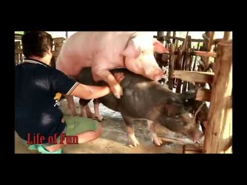 Wow! Amazing Man Breed Bred Pigs How To Bred Pigs