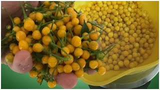 Aji Charapita harvest