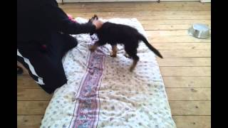 UK SECURITY DOGS GSD male puppy training