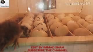 Homemade incubator// chicks Hatched.Result//How to Make.an Egg incubator  ...my contact03440993247