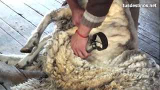 Esquilar una oveja (método tradicional). Trasquilar lana con tijera / Sheep  shearing / wool