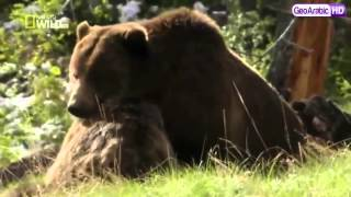 برنامج وثائقي خلق ليفترس :الدب الرمادي HD
