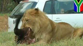 Un lion dévore une touriste américaine lors d'un safari en Afrique du Sud