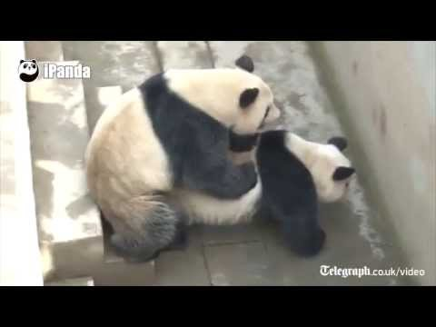 Xxx Mp4 Giant Pandas In China Set Record For Longest Recorded Sex Session 3gp Sex