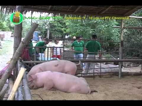 Babuyang Walang Amoy Natural Hog Raising; Dagupan s Best Special Lechon Part 1