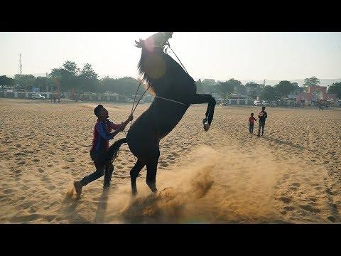 Xxx Mp4 मारवाड़ी घोड़े की ट्रेनिंग Marwari Horse Training Video Marwadi Ghoda Horse Breeds In India 3gp Sex