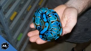 YOU WON'T BELIEVE THE COLOR OF THESE SNAKES! SnakeBytesTV