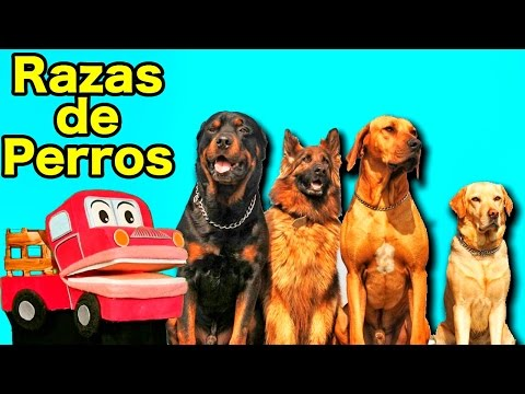 Xxx Mp4 Tipos De Razas De Perros Los Niños Aprenden Con Barney El Camión Videos Educativos 3gp Sex