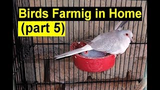 birds farming in home by waseem part 5 | urdu hindi | china dove