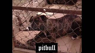 Pitbull vs Pitbull REAL 3 (Training, Fight)