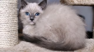 Ragdoll kitten - Cat - Katze - Gato - Gatto - Macska - Cica - Kitty - Minou - Kотенок