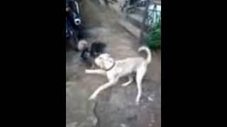 Dog v/s Hen in gayali language