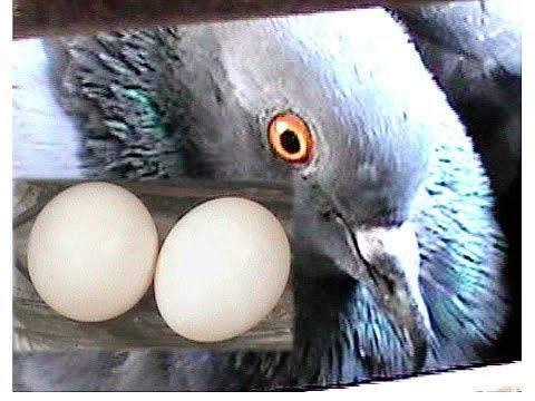 pigeon growing video !