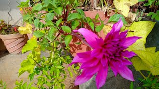 How to grow Dahlia easily in a container
